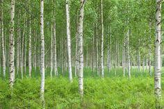 Summer Birch Forest - Fototapeter & Tapeter - Photowall