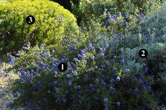 Ceanothus 'Concha' m / 3 m) Senecio vira-vira cm / cm) Euphorbia ceratocapa cm / 60 cm) Plant Design, Garden Design, Permaculture, Mediterranean Plants, Planting Plan, Dry Garden, Sloped Garden, Drought Tolerant Plants, Gardens