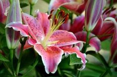 Oriental Lily Care