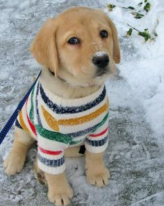 labrador retriever puppy dog in a sweater Moda Animal, Cute Puppies, Cute Dogs, Puppies In Pajamas, Baby Animals, Cute Animals, Tier Fotos, Retriever Puppy, I Love Dogs