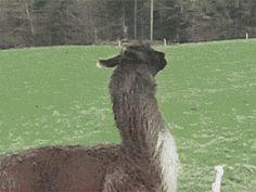 i didn't know alpacas were so majestic
