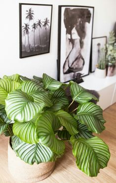 5 easy-care houseplants for your 5 pflegeleichte Zimmerpflanzen für euer Zuhause I love succulents, I have the parts everywhere. However, one should not forget that the selection of plants is huge. Easy Care Houseplants, Easy Care Indoor Plants, Decoration Plante, Decoration Table, Decorations, Planting Succulents, Planting Flowers, Calathea Orbifolia, Plantas Indoor