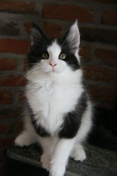 BLACK WHITE HARLEQUIN MAINE COON La Lau's Aero Zeppelin - n 02 - dob: 2012-11-25 http://www.mainecoonguide.com/characteristics/