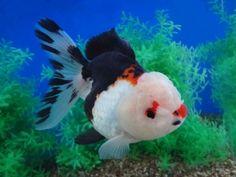 Nice white wen on this gorgeous Oranda  Goldfish Auction. 12/18/2013