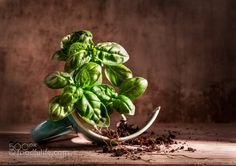 Pic: Basil with broken cup