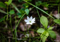 Arctic Starflower © Popi Kmb