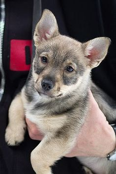 Swedish Vallhund~ so cute. Free Puppies, Cute Dogs And Puppies, Pet Dogs, Corgi Dog, Animals And Pets, Baby Animals, Cute Animals, Purebred Dogs, Dog Lady