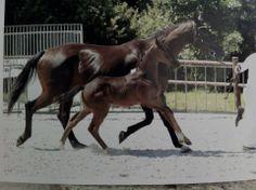 KWPN foal by Totilas X Negro!