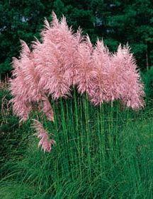 Ornamental Grasses Zone 7 Pampas grass mix cortaderia selloana fast growing ornamental grasses pink pampas grass workwithnaturefo