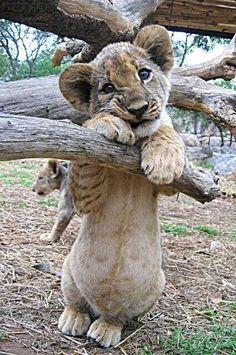 SO cute baby lion. :)