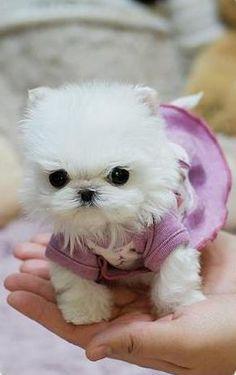 Micro Teacup Maltese Puppies Poshfairytail's Tiny Teacup