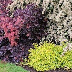 """Декоративные кустарники для """"ленивого сада"""" / декоративные деревья и кустарники"""