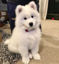 """430 Likes, 9 Comments - Loki The Samoyed (@loki.thesamoyed) on Instagram: """"Did anyone just call me cutie? • • • • •…"""""""