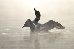 loon in mist