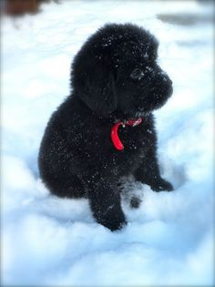 Newfoundland puppy, another good breed.