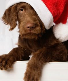 9 Holiday Pet Hazards:  The holidays are a festive time, but the season brings added dangers for pets.  Keep pets away from these common holiday items to ensure a safe, happy season.