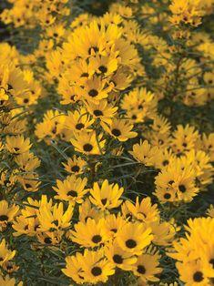 Helianthus Table Mountain - good in clay soil Perennial Sunflower, Sunflower Garden, Dwarf Sunflowers, Willow Leaf, Hummingbird Garden, Table Mountain, Black Flowers, Autumn Garden, Cool Plants