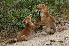 """""""Playing foxes"""" by Rob Janné, via 500px."""