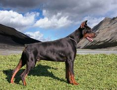 #Doberman maybe in Alpes