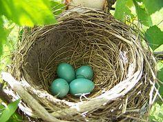 Hickery Holler Farm: Canning Bird Nest Craft, Bird Nests, Peeling Boiled Eggs, Wild Birds Unlimited, Blue Eggs, Peach Trees, Tomato Plants, Spring Garden, Bird Feathers
