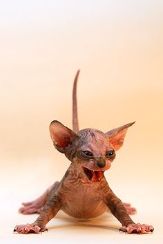 hairless kitten