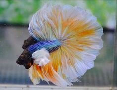 Male Super dumbo ears Halfmoon Betta Super FINS AND TAIL Top QUALITY Thai Im