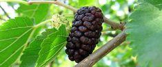GELSO. Nel nostro Paese questo stupendo albero da frutto (e non solo da frutto) è finito nel dimenticatoio. Non se ne capisce il motivo, dato che una sola pianta, senza bisogno di concimi, o pesticidi, può produrre ogni anno quintali di frutta. I frutti hanno un sapore diverso a seconda del colore. I più apprezzati sono le more di gelso nero, che hanno un gusto bilanciato tra il dolce e l'acidulo. Essi erano già conosciuti ed apprezzati ai tempi dell'Impero Romano, mentre oggi..