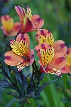 Alstroemeria Indian Summer = 'Tesronto'