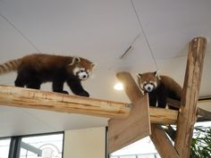 Red pandas at the Adventure World in Wakayama prefecture, Japan