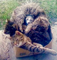How many can we squeeze in one box?  Did we beat the world record?!  I love this.  Cats just love sitting in and resting in boxes or other small containers.  Too cute, and too funny!  :) <3