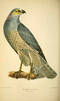 Alexander Wilson | American ornithology; or, The natural history of the birds of the United States (187-) | Hen harrier (Circus cyaneus)