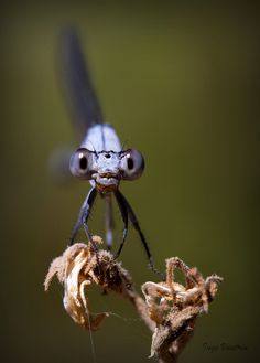 Dragonfly Baby Blues | By Inge Vautrin on Flickr.