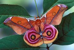 A female Madagascar Emperor Pink Eye moth (antherina suraka)