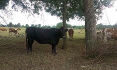 Fekete cow