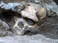 This image shows a Dmanisi early Homo cranium in situ.  Credit: Picture: Georgian National Museum