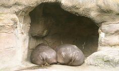 Hippo Butts!