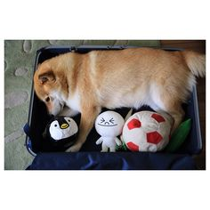 Never forget to pack a cute shiba inu when you travel...