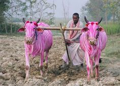 In today's jigsaw, have these zebras being sipping too much Strawberry Quick? Or, do we have cows painted to look like zebras? From a Hindu festival in Nepal, Play Pink Cows (where the photo can be seen in much higher resolution) Images Of Cows, My Images, Pink Cow, Pink Zebra, Indian Family, Rock Hunting, Hindu Festivals, Cow Painting, Zebras