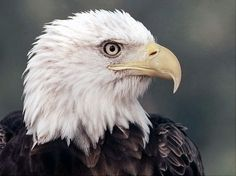 Taken off the list!  According to the National Wildlife Federation, the Endangered Species Act, signed into law in 1973, helped save the bald eagle by initiating captive-breeding programs and habitat protection. The species, which had been down to 417 nesting pairs in the continental U.S., now numbers 6,500 pairs here and may be taken off the list.