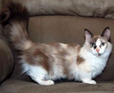 munchkin cat - Google Search
