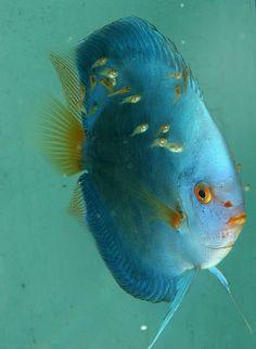 Discus fish (Haim Shohat photographer)