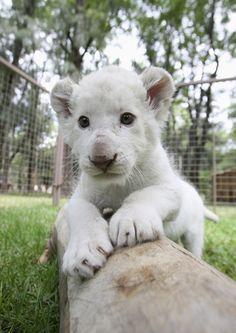 This one-month-old white lion lives at the Leon's Zoo in Guanajuato, Mexico. He is really something else.