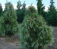 Pinus koraiensis Jack Korbit - The Site Gardener