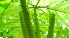 Wonders Of Papaya Leaves