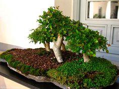 Este pequeño bosque también ha sido considerado uno de los mejores bonsais de este año. Puedes ver el post completo en www.antoniotajuelo.com/es/bonsai. #bonsai #gardening