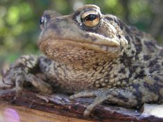 Wise old toad! Learn how Froglife work to conserve this species at www.froglife.org