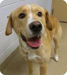 Wooster, OH - Labrador Retriever Mix. Meet Marco, a dog for adoption. http://www.adoptapet.com/pet/12991517-wooster-ohio-labrador-retriever-mix