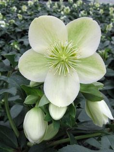 Helleborus x ericsmithii Gold Collection® Ice Breaker Max (Winter's Glow)