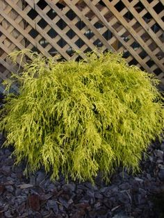 Golden Mop Cypress - The form is rounded with the branches weeping.  I have 7 in the front of my house.