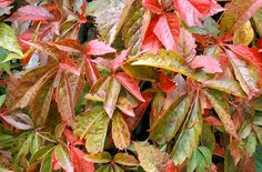 Virginia creeper - P. quinquefolia is a vigorous large deciduous climber. Leaves with five ovate leaflets, turning bright red and orange in autumn. Shade Tolerant Plants, Shade Plants, Ivy Plants, Garden Plants, Climbers For Shade, North Facing Garden, Virginia Creeper, Planting Plan, Plant Images